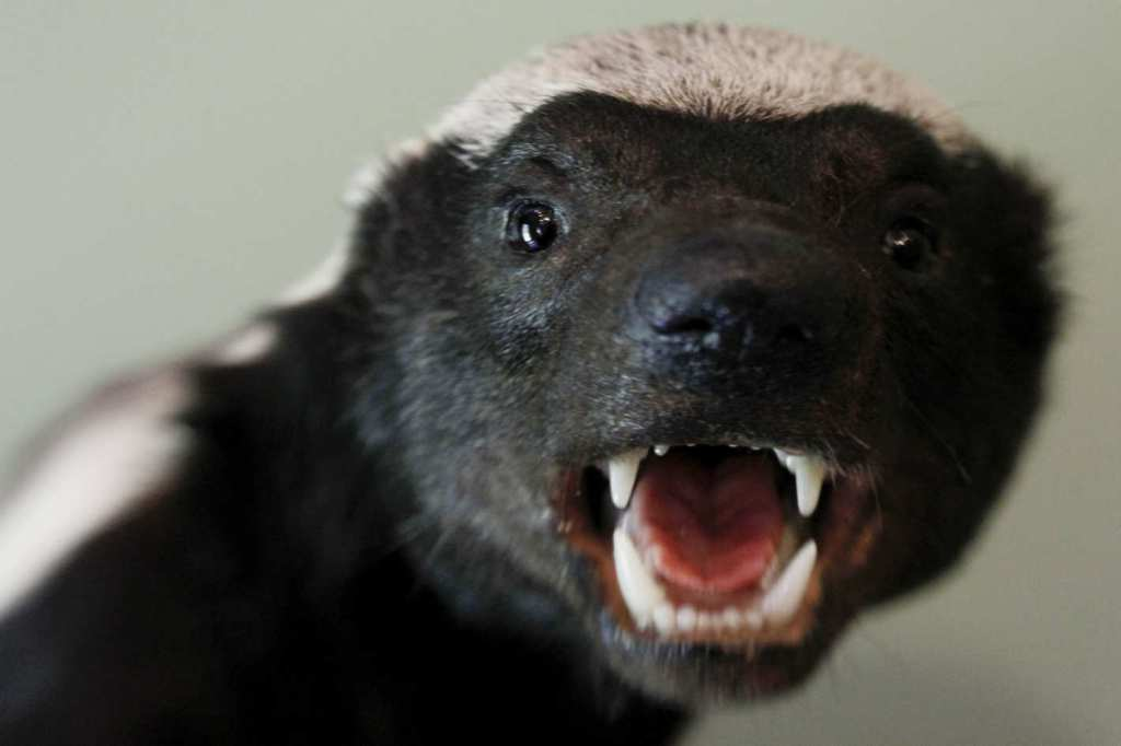 18-honey-badger-teeth.w710.h473.2x